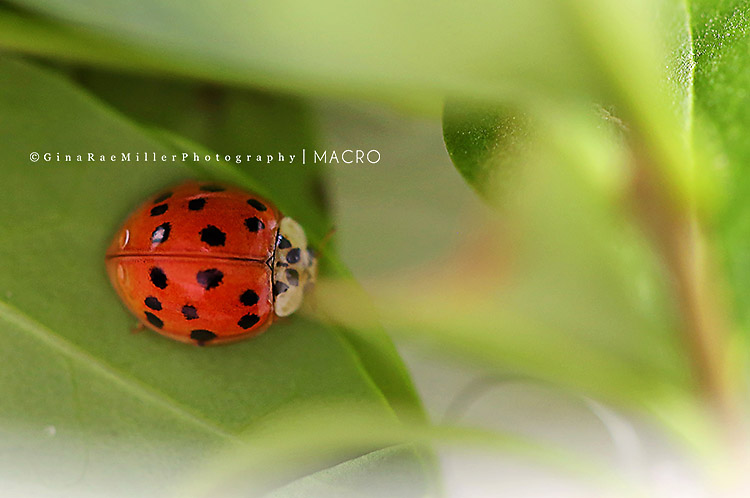 Gina Rae Miller Photography Long Island New York Photographer Macro Ladybug